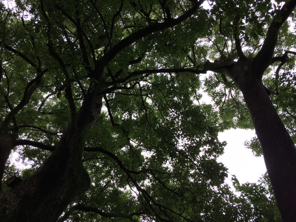 愛媛県にある髙忍日賣神社(たかおしひめ)神社の連理の枝